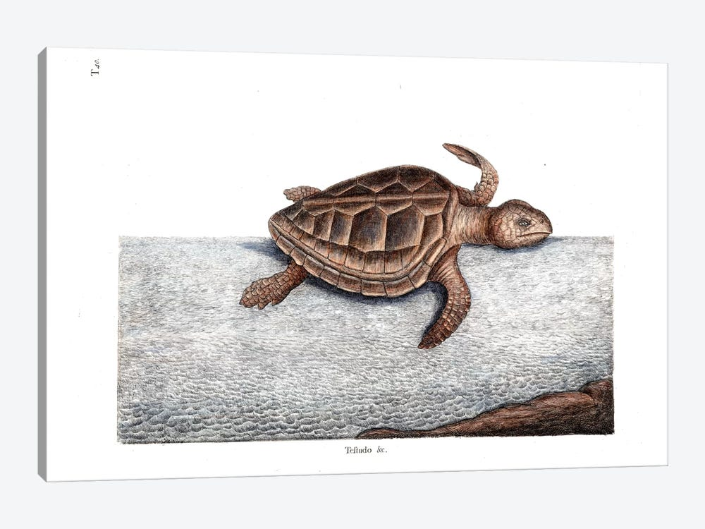 Loggerhead Turtle by Mark Catesby 1-piece Canvas Wall Art