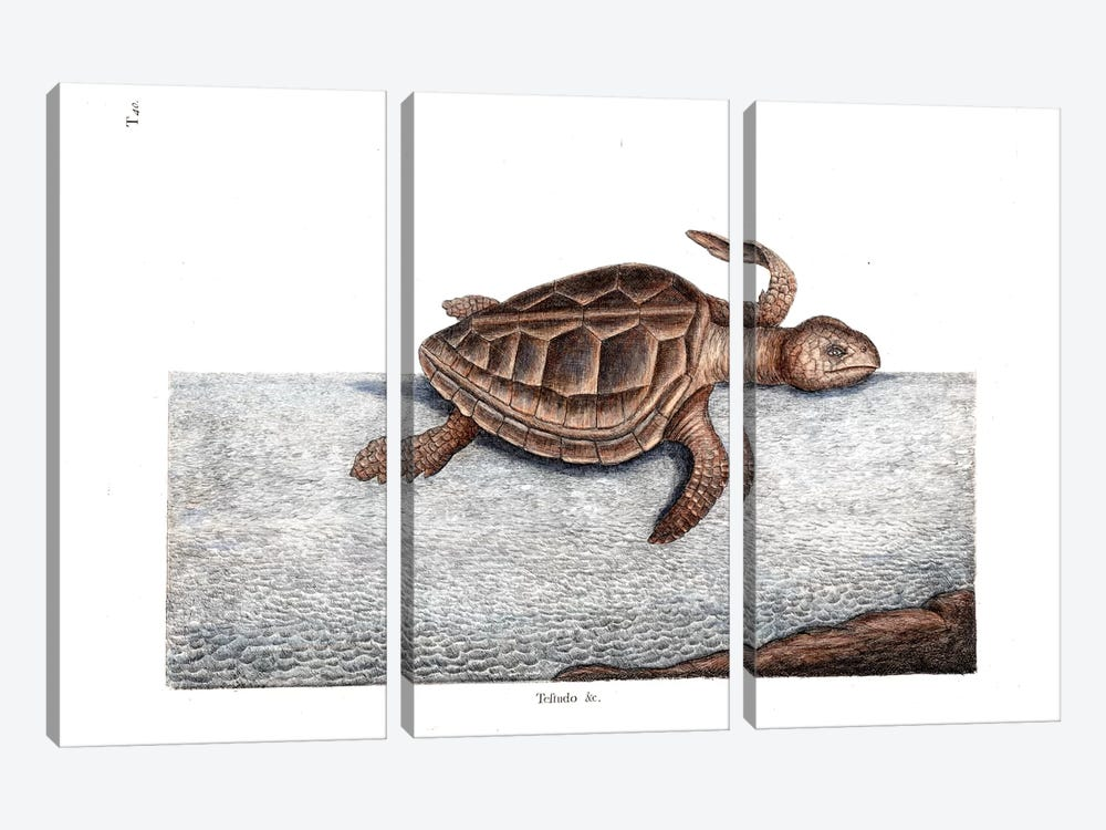Loggerhead Turtle by Mark Catesby 3-piece Canvas Wall Art