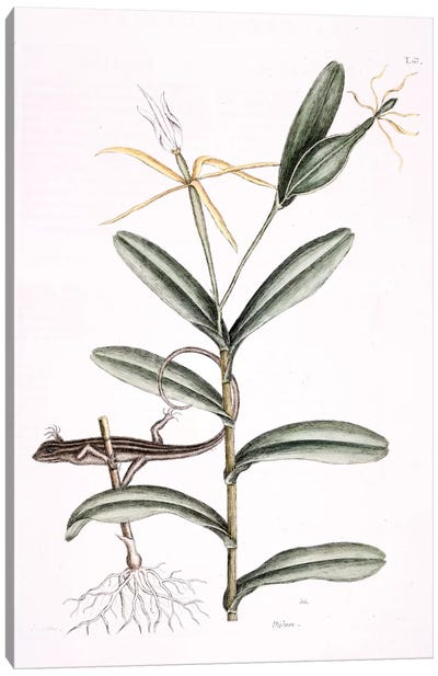 Catesby's Natural History Series: Lyon Lizard & Epidendrum Nocturnum Canvas Print #CAT109