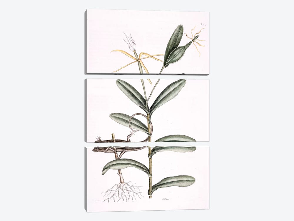 Lyon Lizard & Epidendrum Nocturnum by Mark Catesby 3-piece Canvas Print