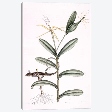 Lyon Lizard & Epidendrum Nocturnum Canvas Print #CAT109} by Mark Catesby Canvas Artwork