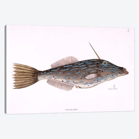 Bahama Unicorn Fish Canvas Print #CAT10} by Mark Catesby Art Print