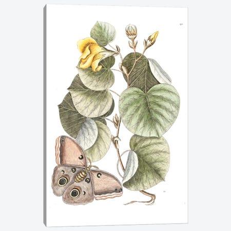 Maho Tree & Phalaena Fusca Canvas Print #CAT110} by Mark Catesby Canvas Art Print