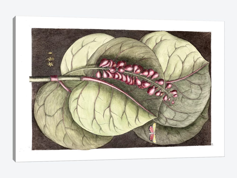Mangrove Grape Tree & Ornate Moth by Mark Catesby 1-piece Canvas Artwork