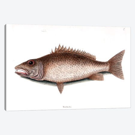Mangrove Snapper Canvas Print #CAT112} by Mark Catesby Canvas Art Print