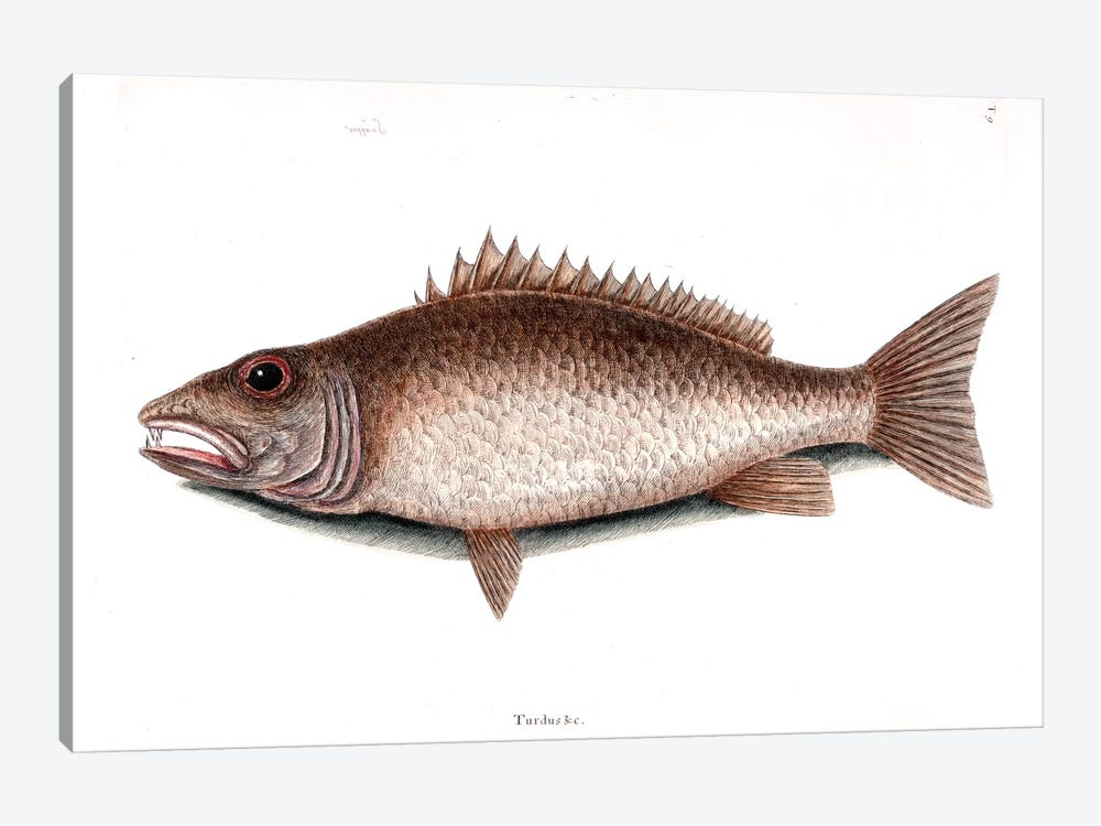 Mangrove Snapper by Mark Catesby 1-piece Art Print