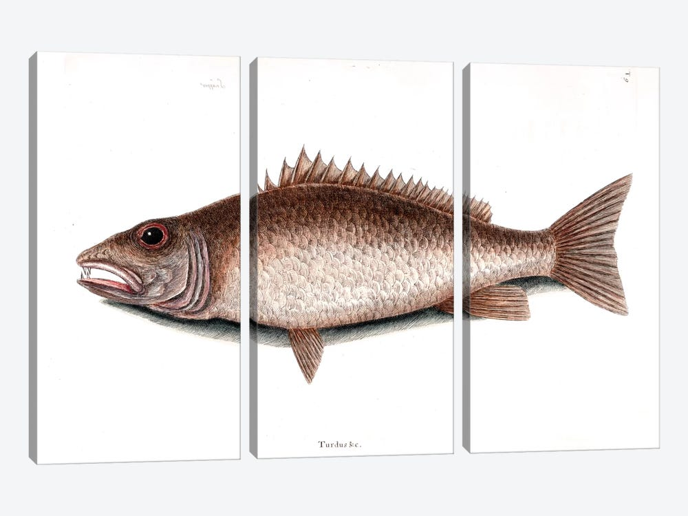 Mangrove Snapper by Mark Catesby 3-piece Canvas Art Print