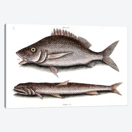 Margate Fish & Sea Sparrow-Hawk (Inshore Lizardfish) Canvas Print #CAT113} by Mark Catesby Art Print