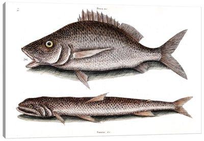 Margate Fish & Sea Sparrow-Hawk (Inshore Lizardfish) Canvas Art Print