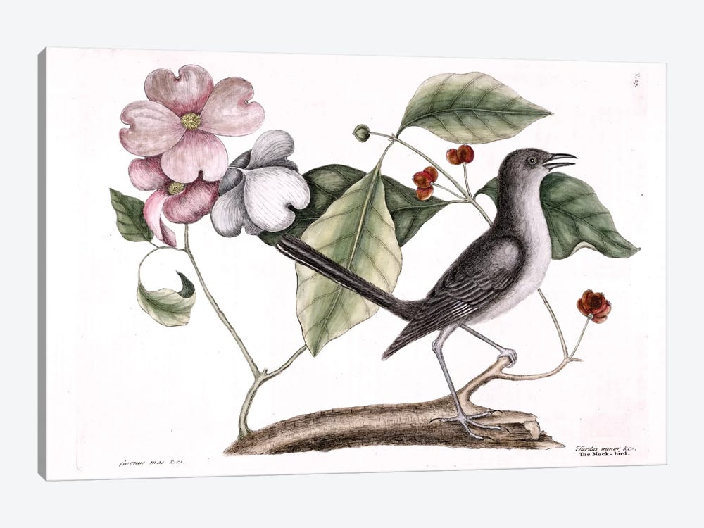 Mockbird (Northern Mockingbird) & Dogwood Tree by Mark Catesby 1-piece Canvas Art Print