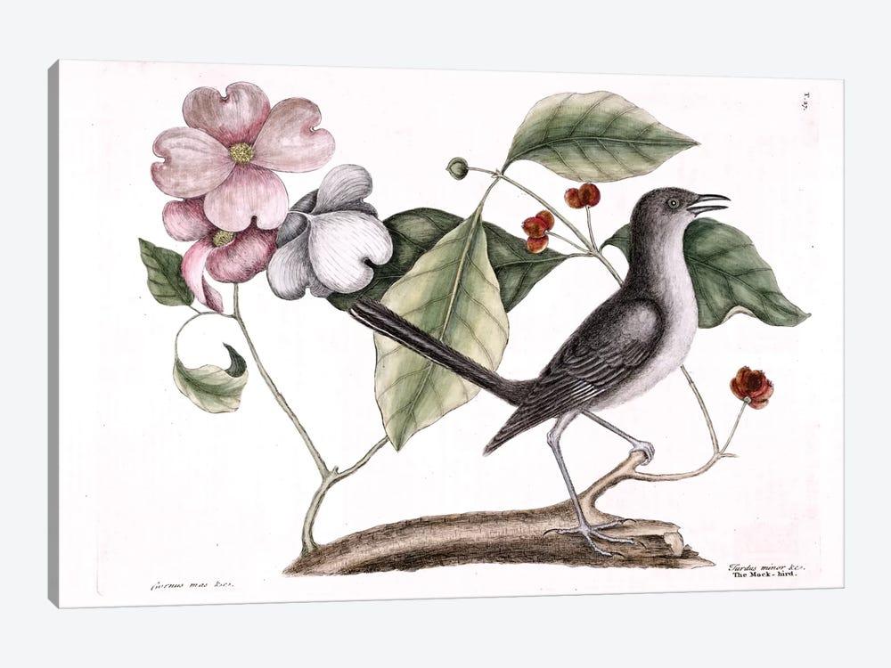 Mockbird (Northern Mockingbird) & Dogwood Tree by Mark Catesby 1-piece Canvas Art Print