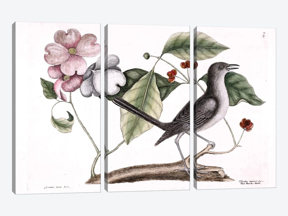 Mockbird (Northern Mockingbird) & Dogwood Tree by Mark Catesby 3-piece Canvas Art Print
