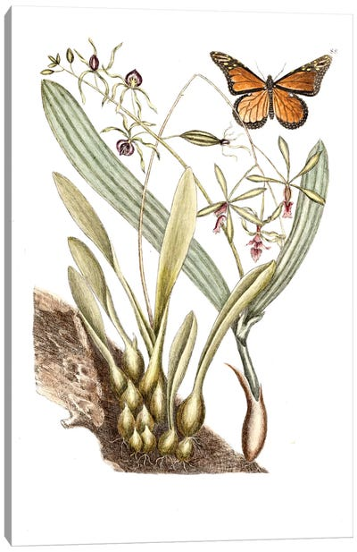 Catesby's Natural History Series: Monarch Butterfly, Clamshell Orchid & Pleated Orchid Canvas Print #CAT115