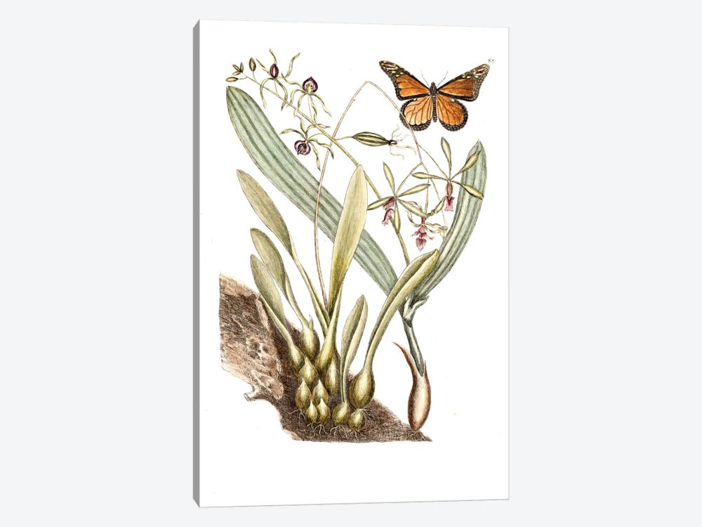 Monarch Butterfly, Clamshell Orchid & Pleated Orchid by Mark Catesby 1-piece Canvas Artwork