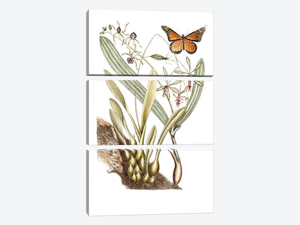 Monarch Butterfly, Clamshell Orchid & Pleated Orchid by Mark Catesby 3-piece Canvas Wall Art