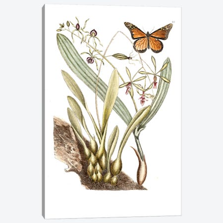 Monarch Butterfly, Clamshell Orchid & Pleated Orchid Canvas Print #CAT115} by Mark Catesby Canvas Artwork