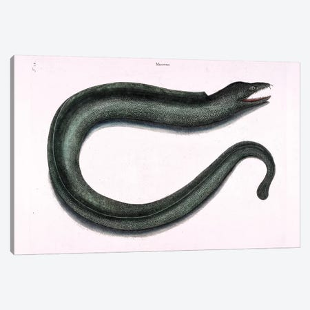 Moray Eel Canvas Print #CAT116} by Mark Catesby Canvas Artwork