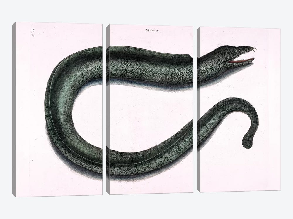 Moray Eel by Mark Catesby 3-piece Canvas Print