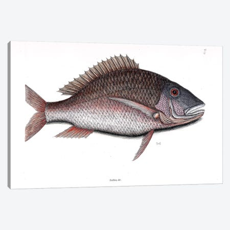 Mutton Fish Canvas Print #CAT117} by Mark Catesby Canvas Art