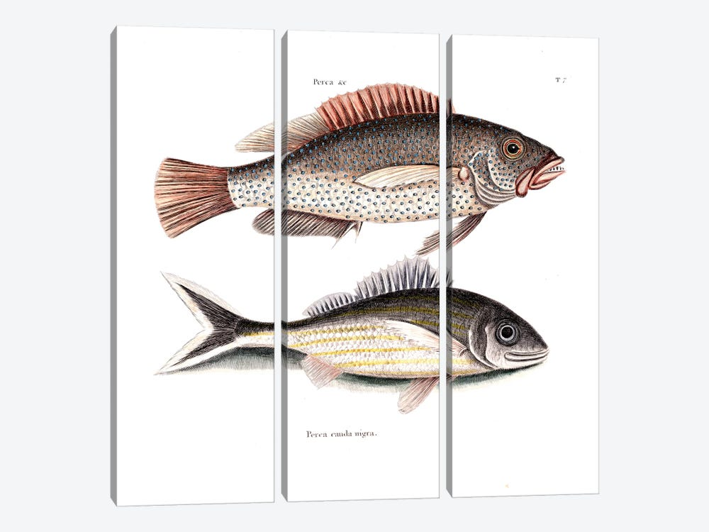 Negro Fish & Blacktail by Mark Catesby 3-piece Canvas Art Print