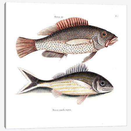 Negro Fish & Blacktail Canvas Print #CAT118} by Mark Catesby Canvas Print