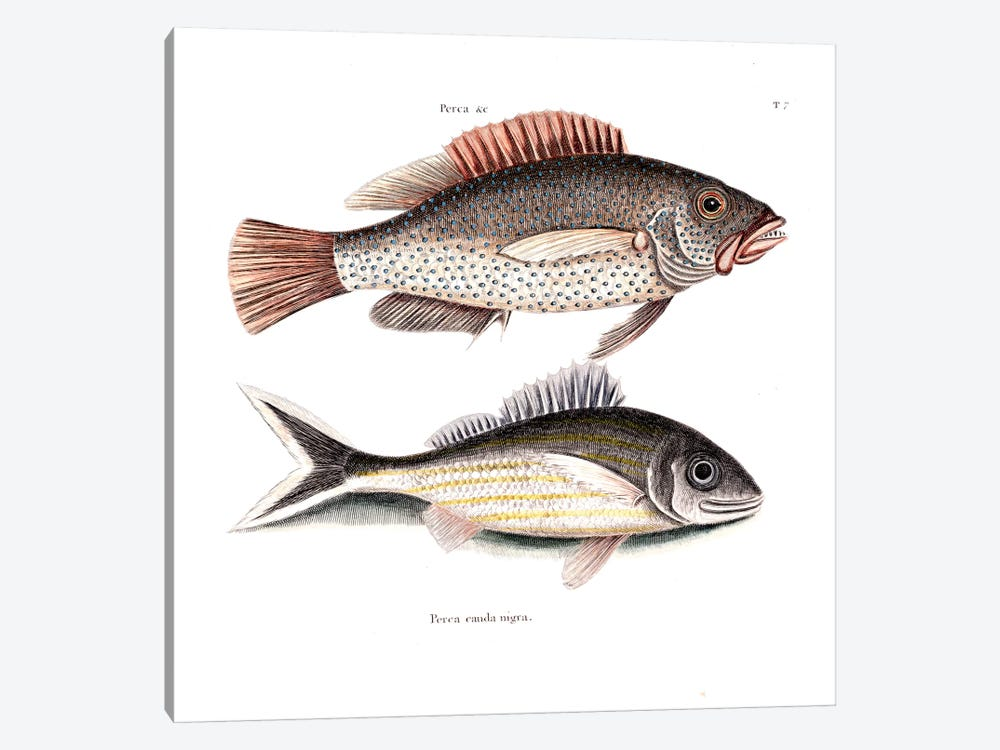 Negro Fish & Blacktail by Mark Catesby 1-piece Art Print