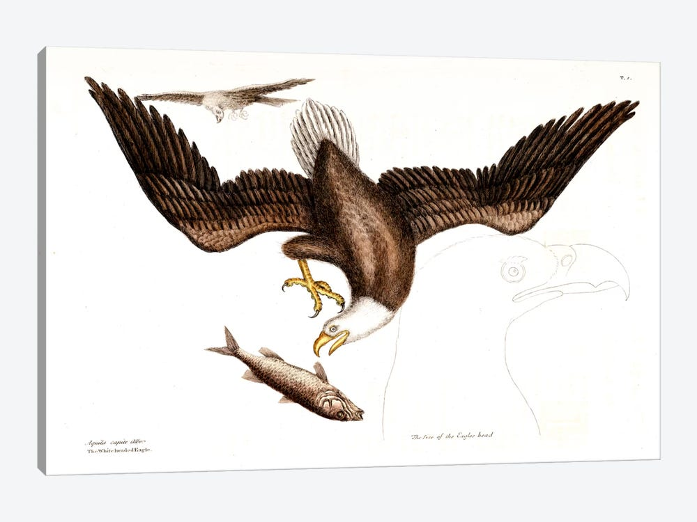 Bald Eagle by Mark Catesby 1-piece Art Print