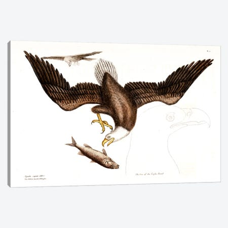 Bald Eagle Canvas Print #CAT11} by Mark Catesby Canvas Print