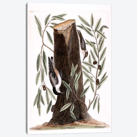 Nuthatch, Small Nuthatch & Highland Willow Oak Canvas Print #CAT120} by Mark Catesby Canvas Art