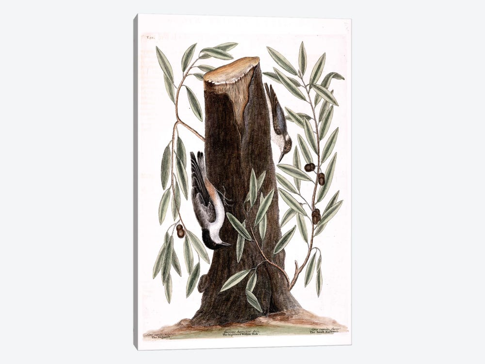 Nuthatch, Small Nuthatch & Highland Willow Oak by Mark Catesby 1-piece Canvas Artwork