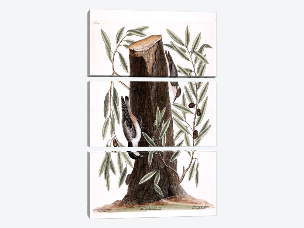 Nuthatch, Small Nuthatch & Highland Willow Oak by Mark Catesby 3-piece Canvas Artwork