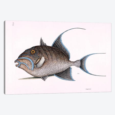 Old Wife (Queen Triggerfish) Canvas Print #CAT121} by Mark Catesby Canvas Art