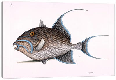 Old Wife (Queen Triggerfish) Canvas Art Print