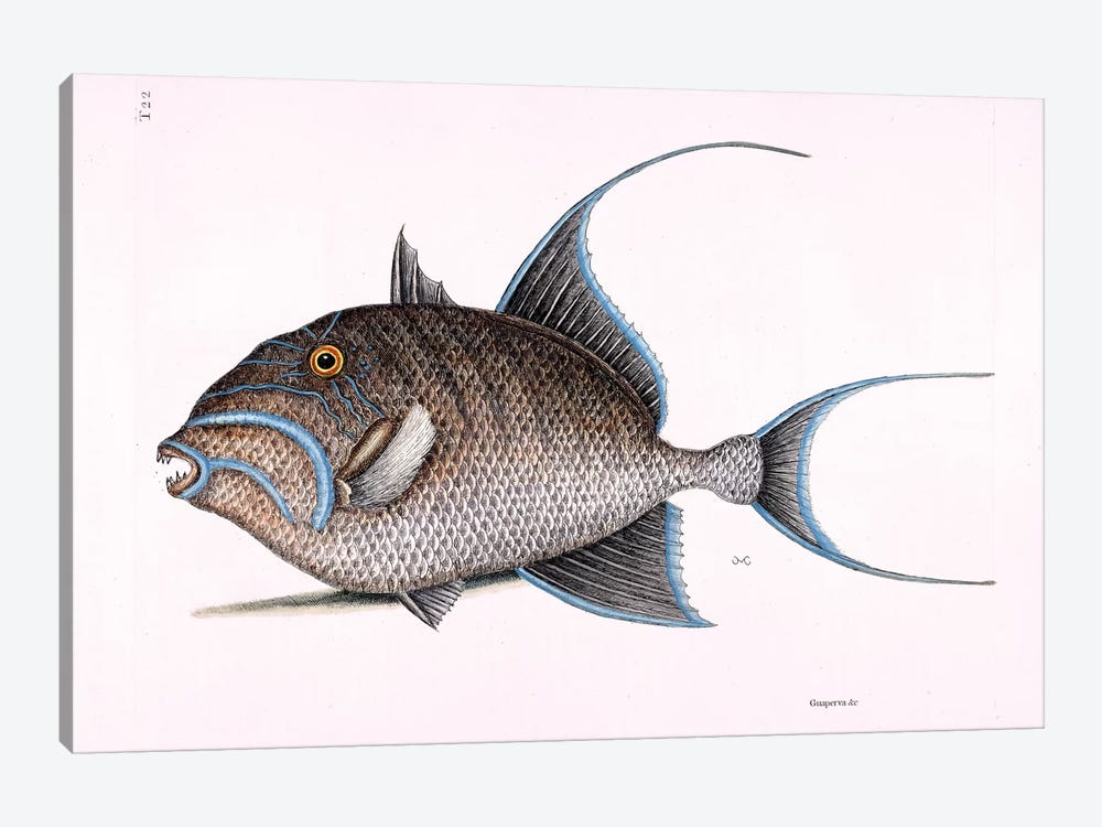 Old Wife (Queen Triggerfish) by Mark Catesby 1-piece Art Print