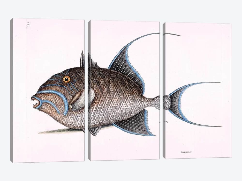 Old Wife (Queen Triggerfish) by Mark Catesby 3-piece Canvas Print
