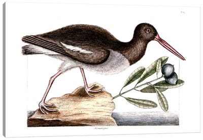 Catesby's Natural History Series: Oyster Catcher & Frutex Bahamensis Canvas Print #CAT122