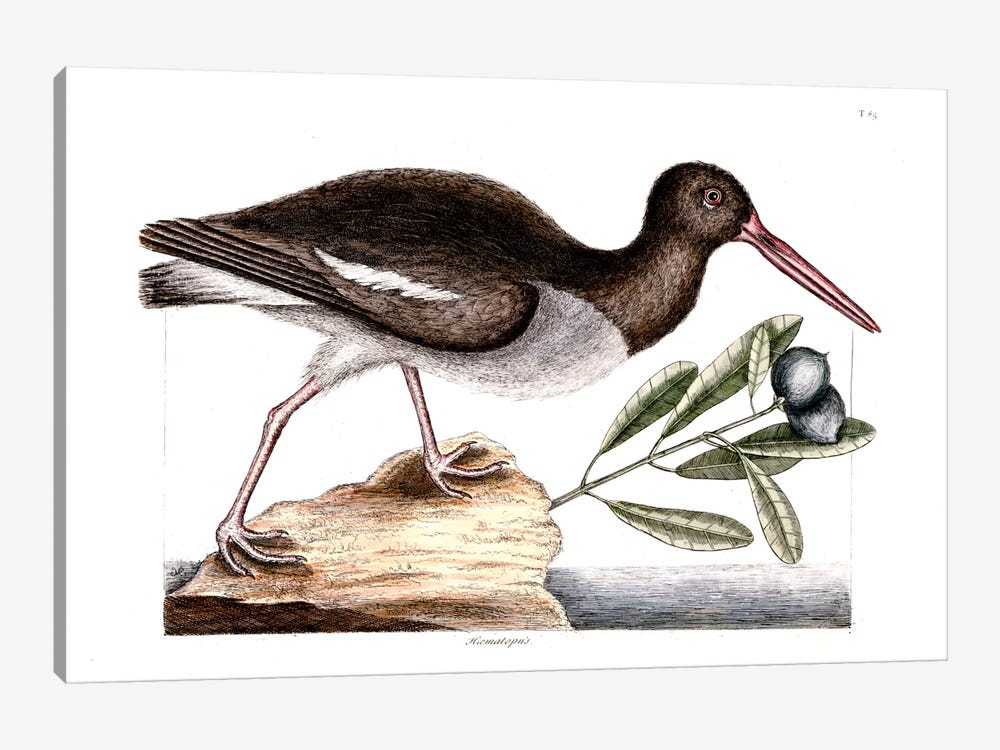 Oyster Catcher & Frutex Bahamensis by Mark Catesby 1-piece Canvas Artwork