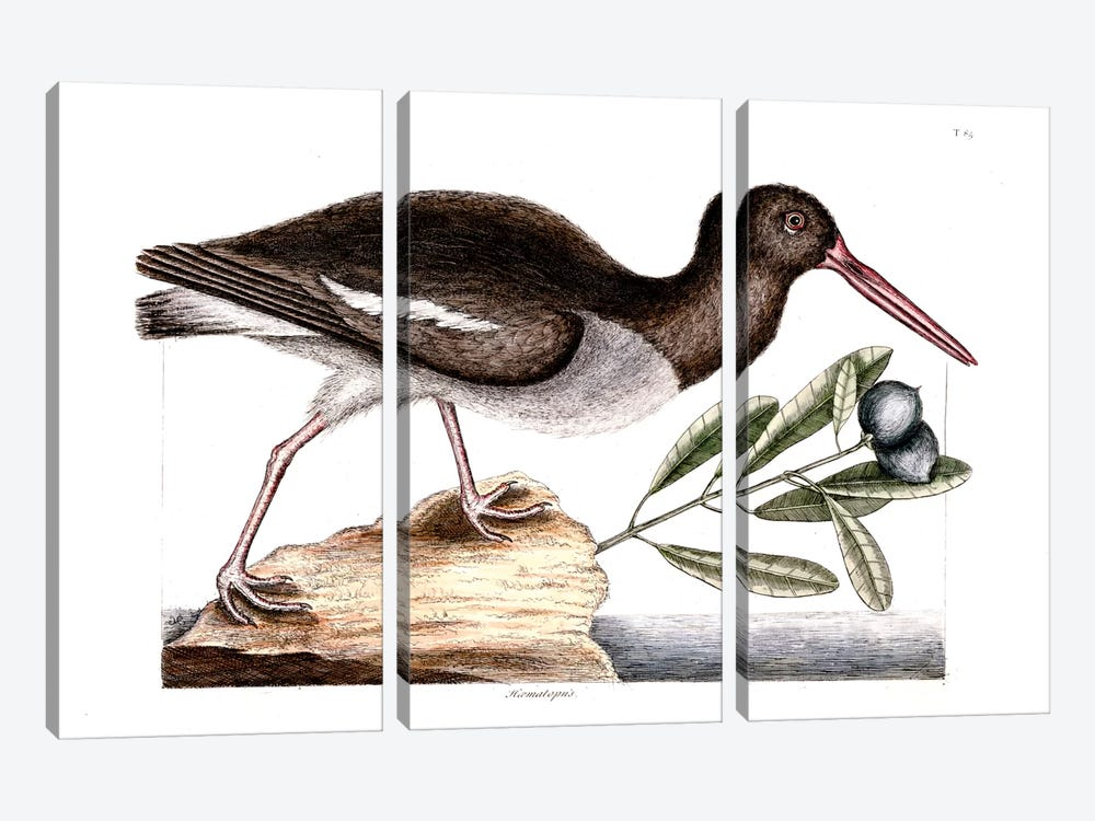 Oyster Catcher & Frutex Bahamensis by Mark Catesby 3-piece Canvas Art