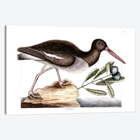 Oyster Catcher & Frutex Bahamensis Canvas Print #CAT122} by Mark Catesby Canvas Wall Art