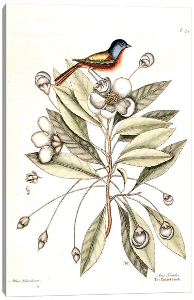 Catesby's Natural History Series: Painted Finch & Loblolly-Bay Canvas Print #CAT123
