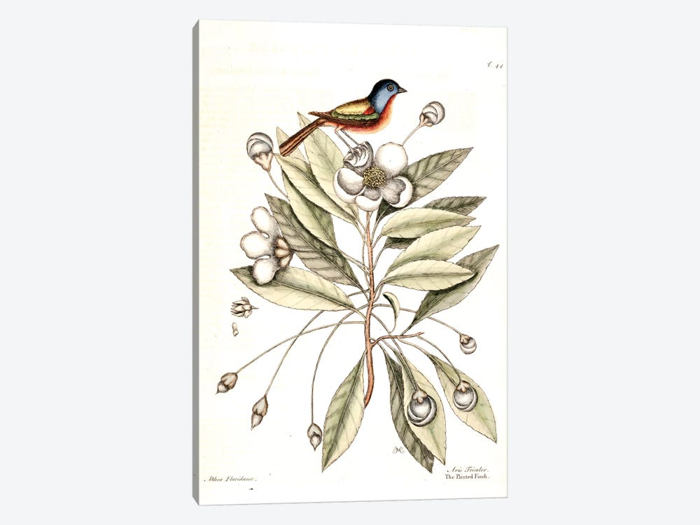 Painted Finch & Loblolly-Bay by Mark Catesby 1-piece Canvas Art Print