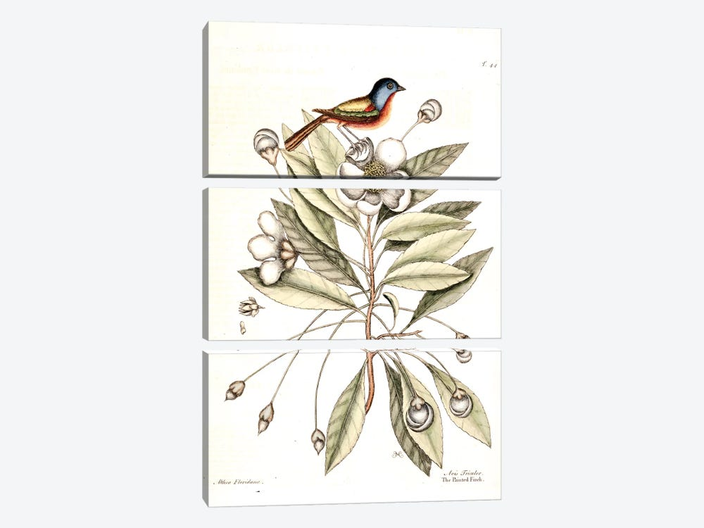 Painted Finch & Loblolly-Bay by Mark Catesby 3-piece Canvas Print