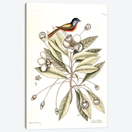 Painted Finch & Loblolly-Bay Canvas Print #CAT123} by Mark Catesby Canvas Wall Art