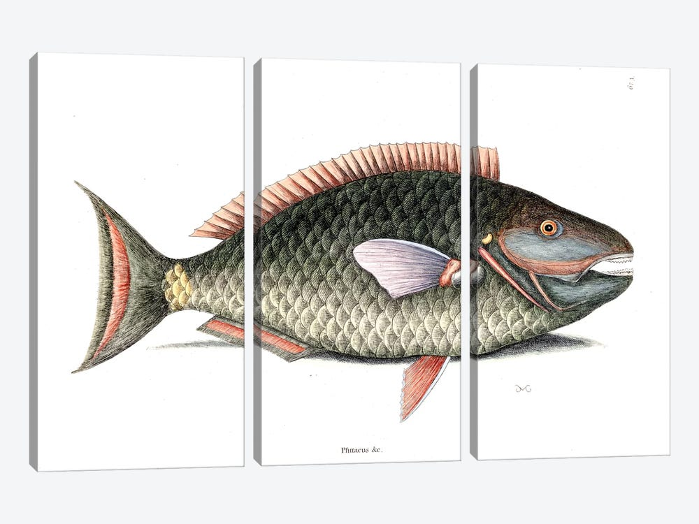 Parrot Fish by Mark Catesby 3-piece Canvas Wall Art