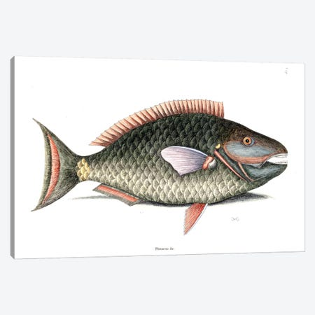 Parrot Fish Canvas Print #CAT124} by Mark Catesby Canvas Print