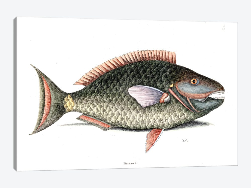 Parrot Fish by Mark Catesby 1-piece Canvas Wall Art