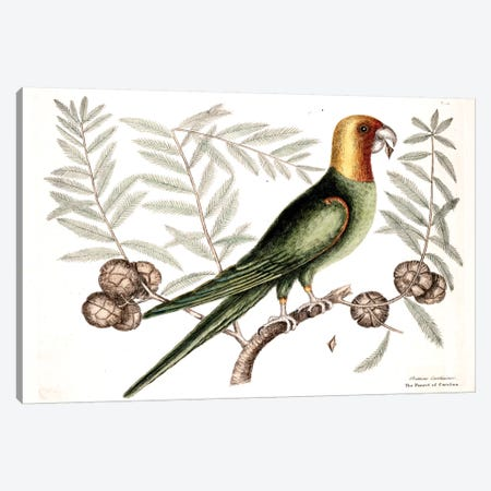 Parrot Of Carolina & Cypress Of America Canvas Print #CAT125} by Mark Catesby Canvas Print