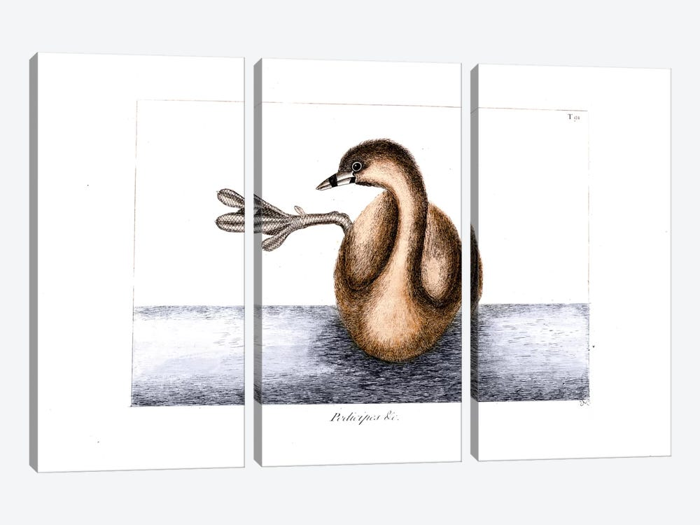 Pied-Billed Dobchick (Grebe) by Mark Catesby 3-piece Canvas Artwork