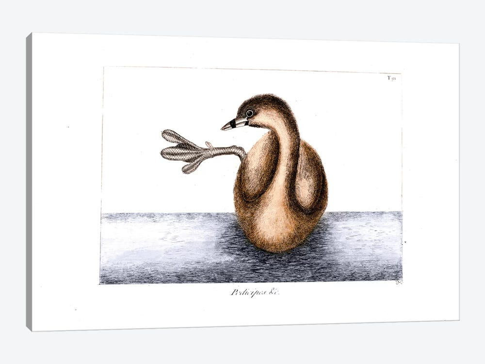 Pied-Billed Dobchick (Grebe) by Mark Catesby 1-piece Canvas Art