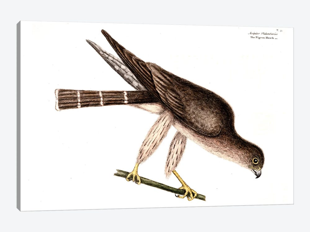 Pigeon Hawk by Mark Catesby 1-piece Canvas Art Print